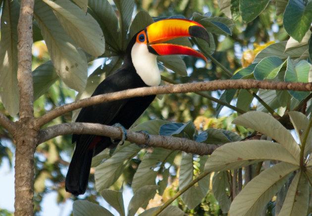 Toco toukan