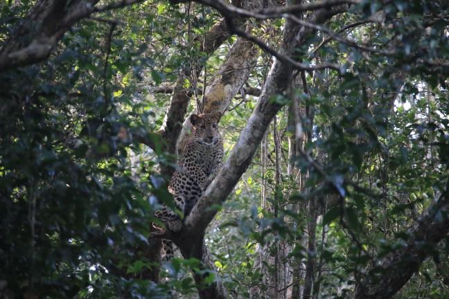Jong luipaard verscholen tussen de bladeren