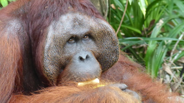 Orang-oetangs op Borneo