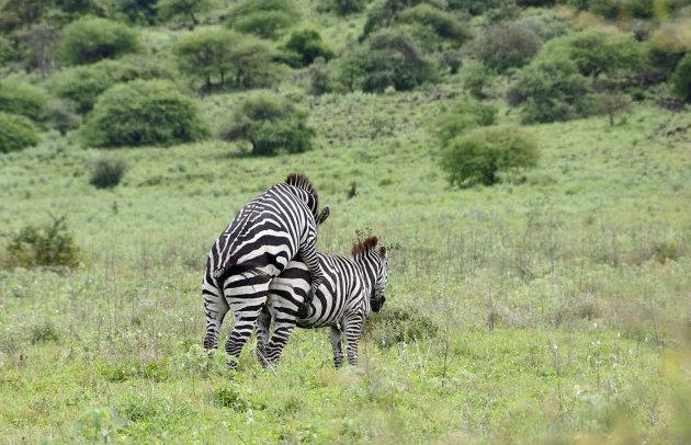 Zebra's in actie