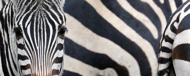 Zebra panorama
