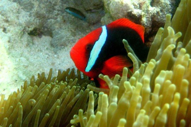 Niet Nemo maar een andere Anemoonvis
