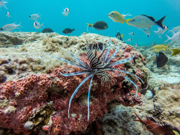 Lionfish jagen op aruba.