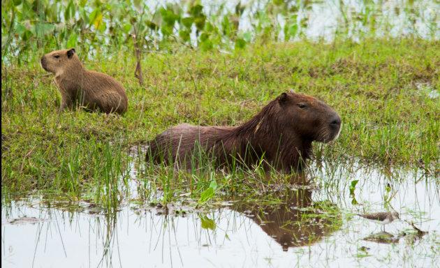Capibara met jong