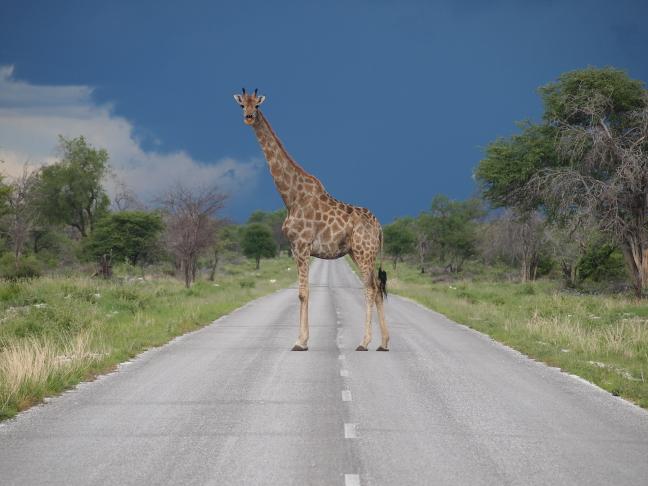 Giraffe in en op de weg