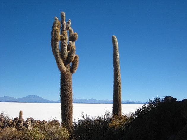 eeuwenoude cactussen