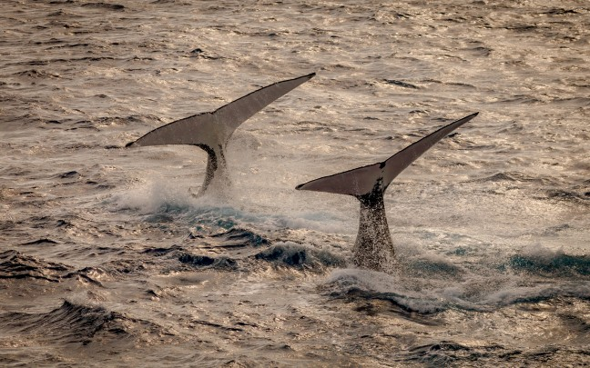 Dansende walvissen