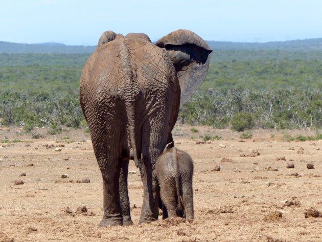 Blijf om je heen kijken bij een safari.  Deze moeder met kind had zich afgezonderd van een enorme kudde.