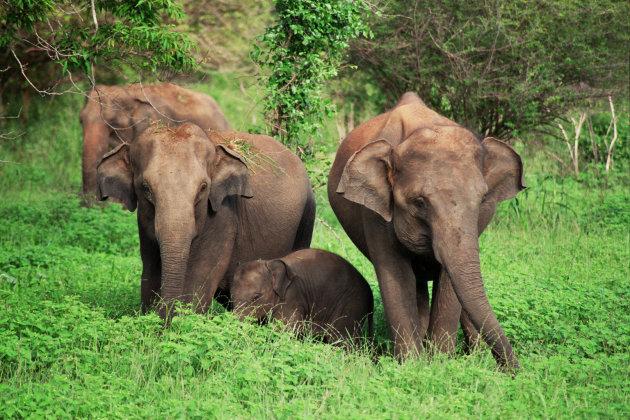 Olifanten met jong