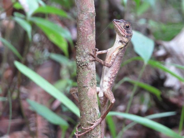 Kangaroo Lizard in Sinharaja Rain Forest