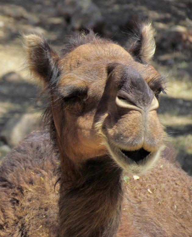 knipoog van een kameel