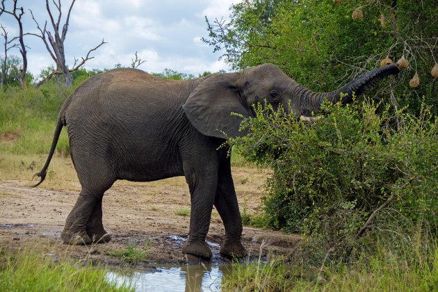 Stoute olifant!