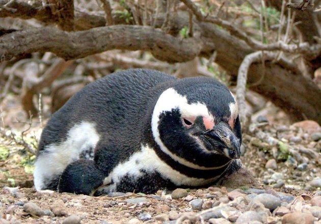 Magelhaen pinguin