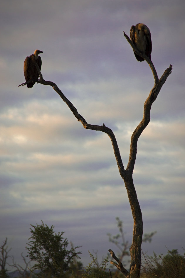 Goodmorning vultures