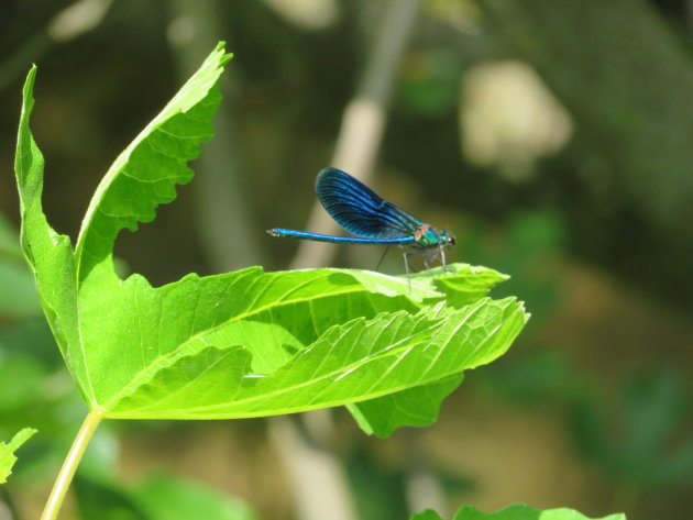 Blauwe waterjuffer in Krka National Park