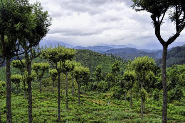 Theeplantages Hansana