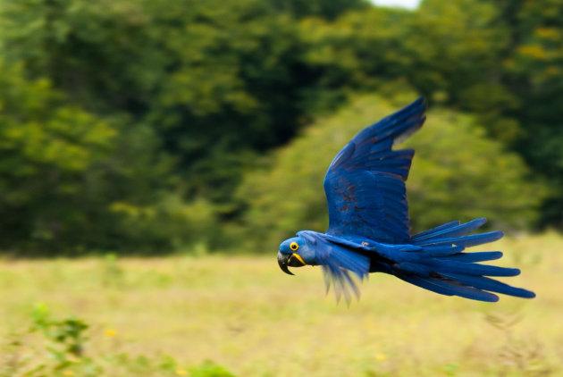 Blauwe Ara