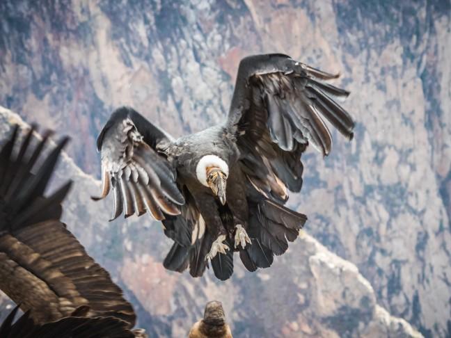 The Landing Condor