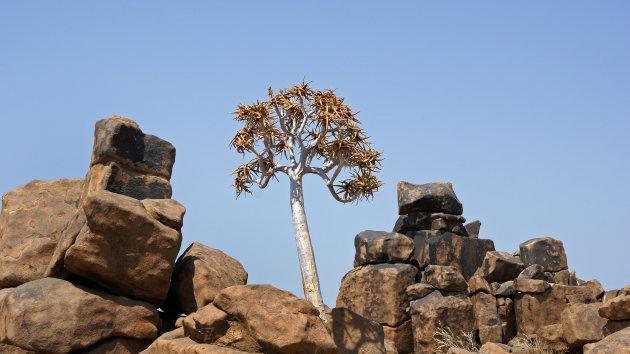 Eenzame kokerboom