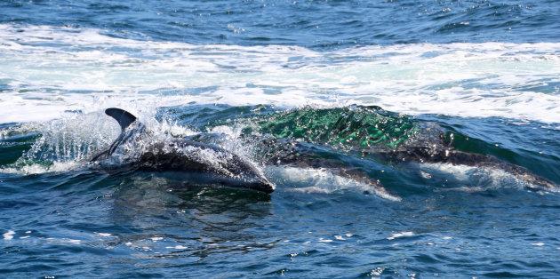Dolfijnen in de golven