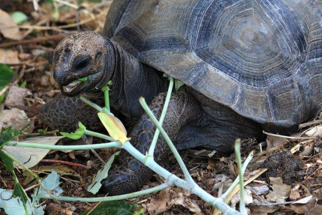 Aldabra-reuzenschildpad