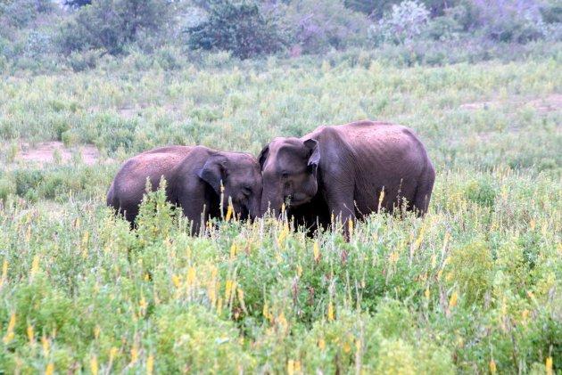 Olifanten vrouwtjes beschermen het jong