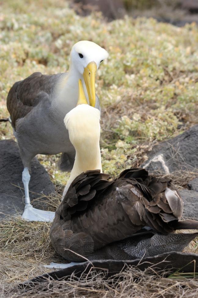 Albatrospaartje