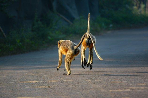 Goa's Langoeren