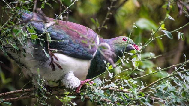 Hoe Nieuw-Zeeland eigenlijk hoort te zijn: Zealandia nature reserve in Wellington.