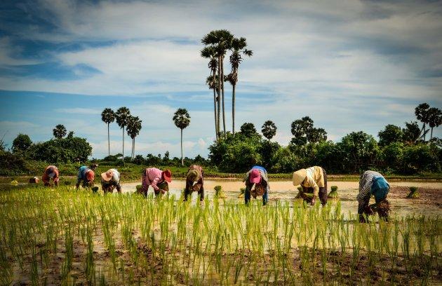 Cambodjaanse rijstvelden in aanplant