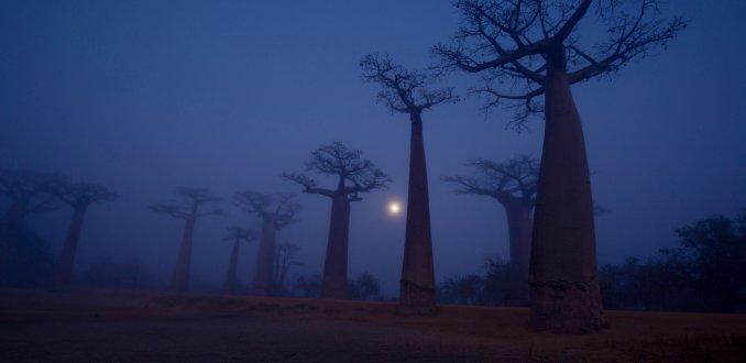 Baobablaan in de mist