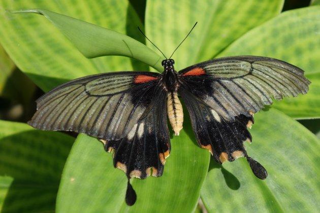 ''Papillon''