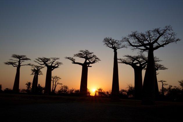 Zonsondergang Baobablaan