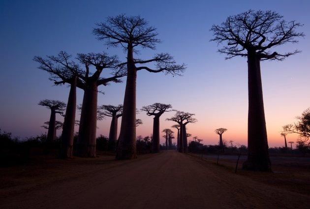 Baobablaan bij zonsopgang