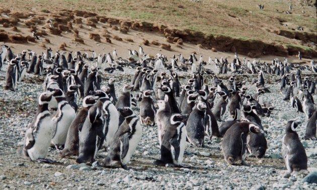 Isla Magdalena: pinguïneiland