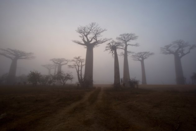 Baobablaan in de mist 2
