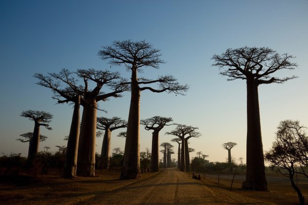 Baobablaan 4