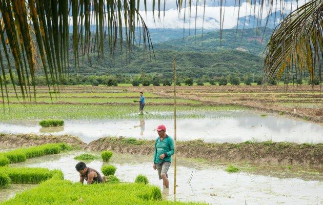 Rijstvelden in Noord Peru