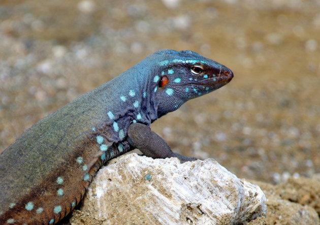 Blau-blau close-up