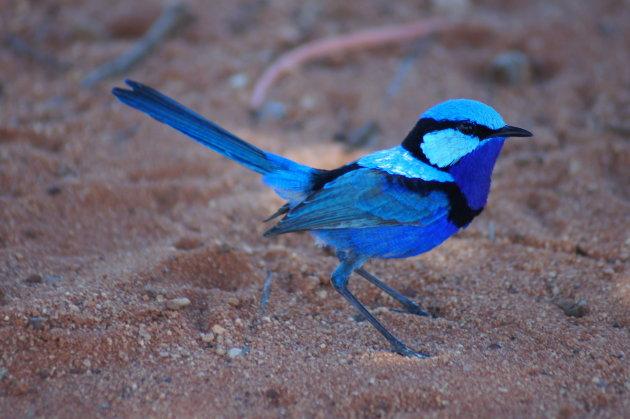 Een vogeltje, haast onwerkelijk zo mooi van kleur
