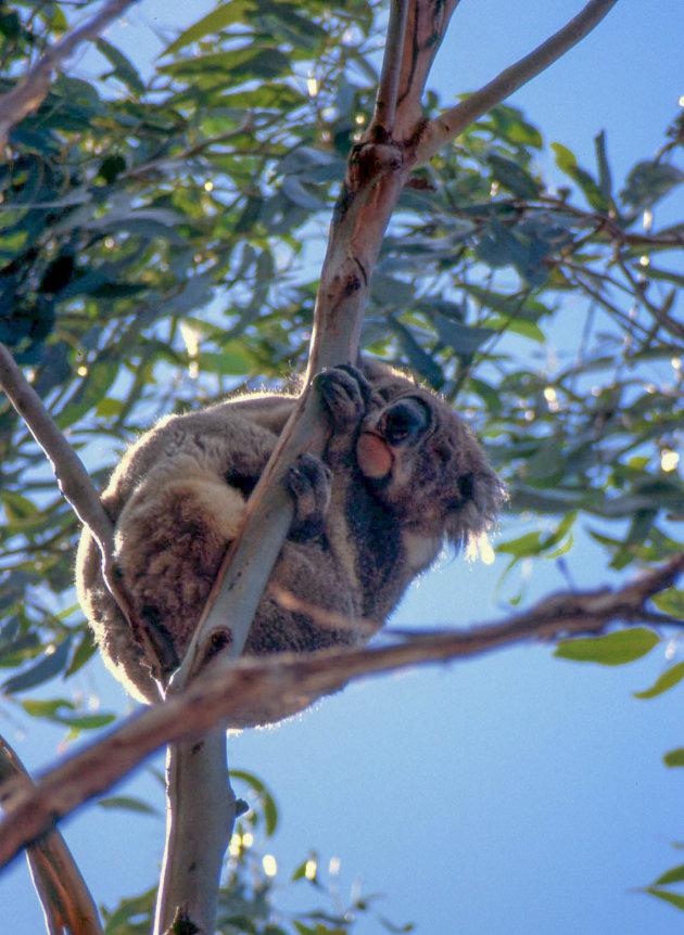Knikkebollende koala