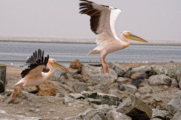 Walvis Bay-pelikanen