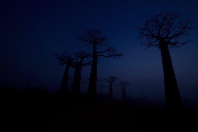 Baobablaan in de mist 3