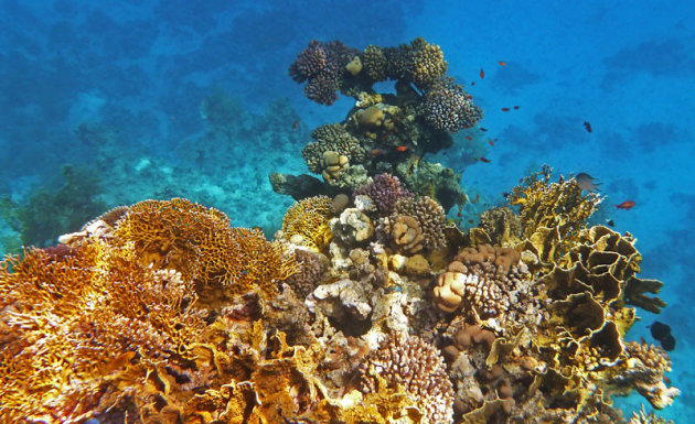 Verschillende soorten koralen in de Rode zee