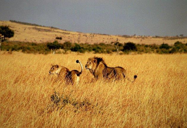 Leeuwen ruiken iets