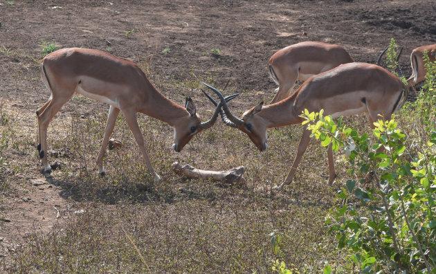 Baldadige impala's