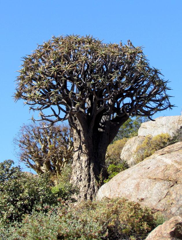 Zuid-Afrikaanse kerstboom