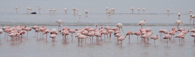Flamingo Panorama
