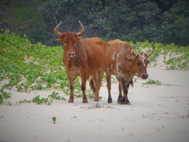 Trennerys strand koeien