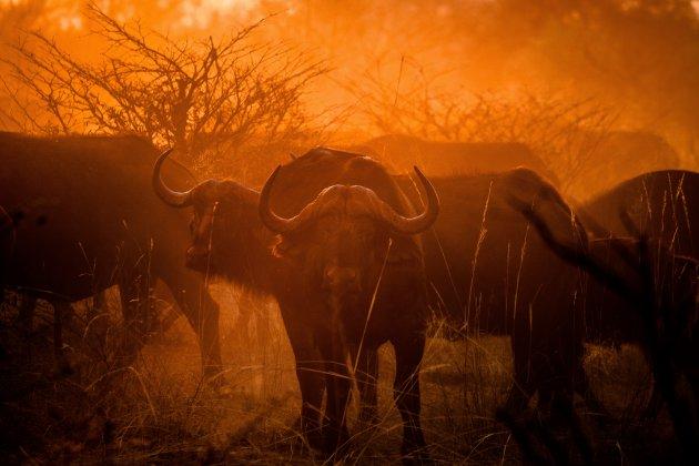 Buffels in de ochtendzon